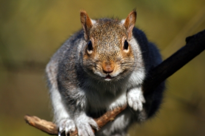 grey-squirrel-free-digital-photos-dot-net