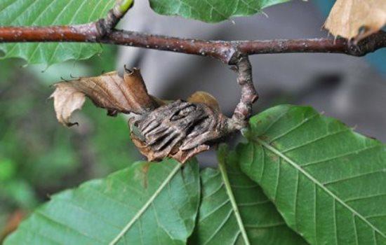 Oriental Chestnut Gall Wasp