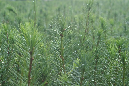 Conifer stands 450