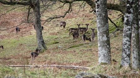 Dunkeld deer -Credit R Briers