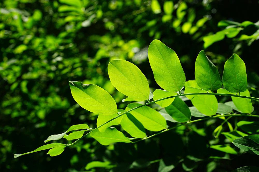 green leaves, tree, green urban