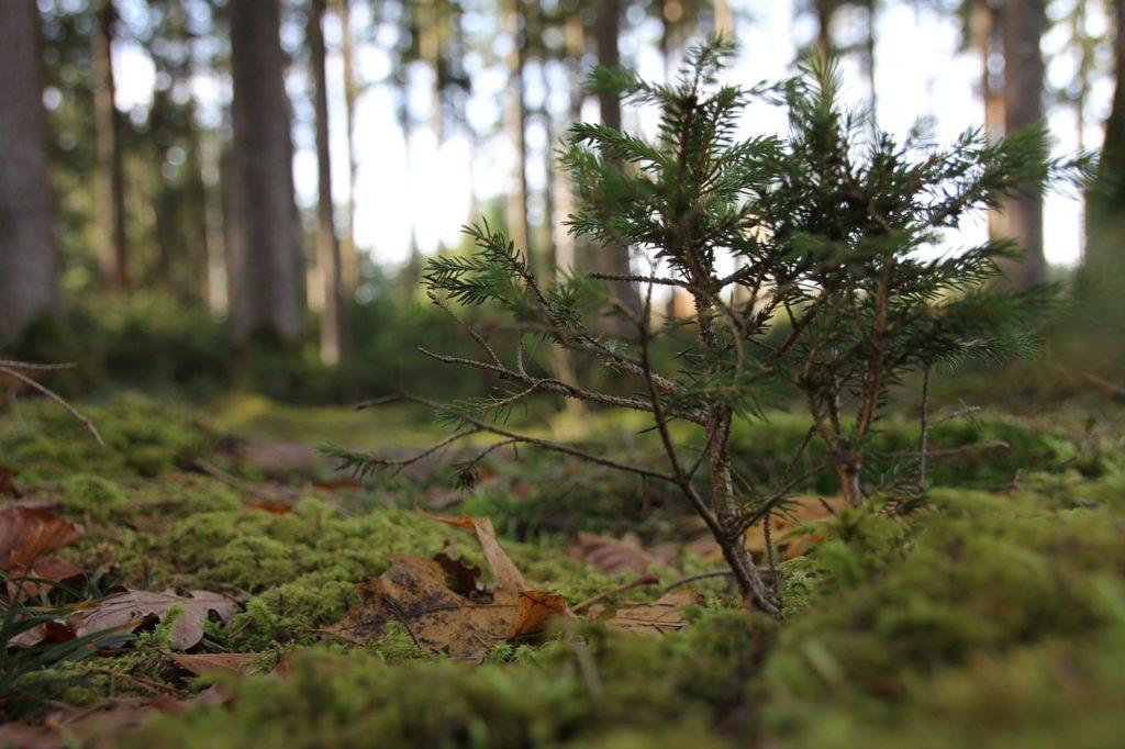 small-fir-tree