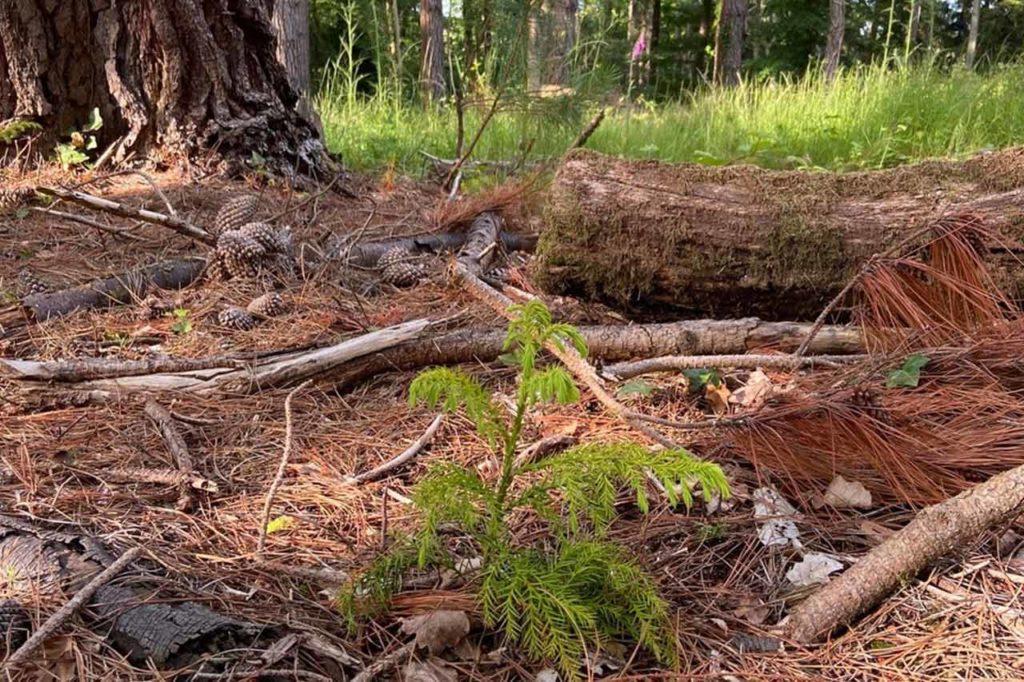 All-England-Crytomeria-Japonica-under-Radiata-Pine---Larch-and-Western-Hemlock-in-background-Perridge-estate-c-Sir-Harry-Studholme